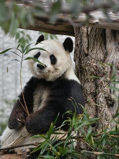 Panda's Dream, Cute Panda, Panda Bear, Beautiful Creatures, Destinations, Cute Animals, Panda Bears, Pandas, Pretty Animals