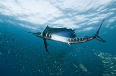 usual suspects by Alexander Safonov, via 500px indo-pacific sailfish and blacktip shark in the bait ball, Sardine Run, Wild Coast, South Africa