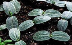 Рецепт от всех болезней огурцов | огород