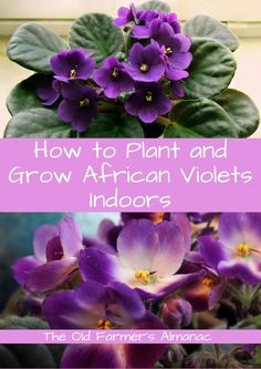 Violets Learn how to plant and grow African Violets with The Old Farmer's Almanac!Learn how to plant and grow African Violets with The Old Farmer's Almanac! Indoor Flowers, Flowers, Violet Flower, Growing Orchids, Flower Pot Design, Plants, Outdoor Plants, Old Farmers Almanac, African Violets