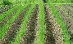Садим лук-севок – получаем богатый урожай | Vusadebke.com | Яндекс Дзен