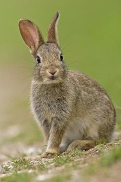 Young wild rabbit.  Notice that the ears can turn in slightly different directions to detect sounds.