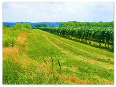 Vineyard on the Chautauqua Wine Trail by Lake Erie (Click for Travel Tips)