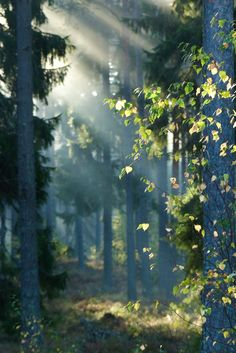 Sunlight streams into a misty grove (Åland, Finland) by Berit Sundman