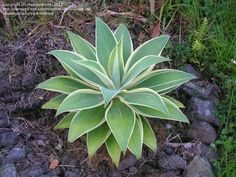 Agave attenuata 'Ray Of Light' - top of the apple