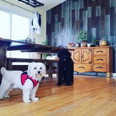 #mason #morkie #pippi #portugesewaterdogpuppy #yearofthedog #thedoggiechalet