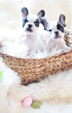 Happy Easter Frenchie Pups
