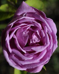 'Edouard Rose' | Bourbon Rose. Unknown (before 1819) | Flickr - © Britta Niermeyer