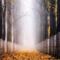 Between Poplars - Foggy poplar forest