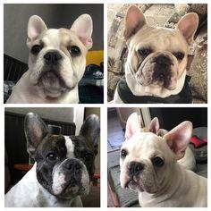 Letty Lou, Walker, Nova, and Bodie, French Bulldogs