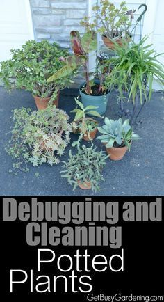 If you put your houseplants outside for the summer, debugging and cleaning potted plants before bringing them back inside is a crucial step in order to avoid indoor houseplant bug problems. Here's an easy method for Debugging and Cleaning Potted Plants | http://GetBusyGardening.com