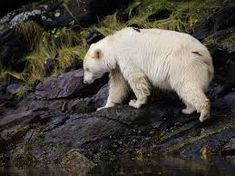 Image result for Vancouver Island Spirit Bear