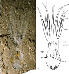 octopus fossil found in 95-million-year-old rocks in Lebanon  Image from national geographic Picture courtesy of Dr. Dirk Fuchs, Freie Universaet Berlin