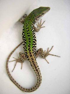 Podarcis siculus. Italian Wall lizard Lucertola