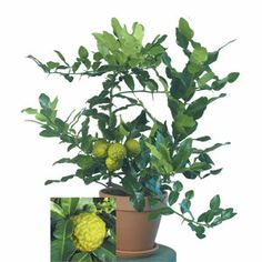 "Kaffir Lime- temp above 50, blooms in spring, adaptable to environments. grows 1-3' in a pot. handsome plant, i think. leaves used as well as the rind of the ""fruit""."