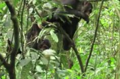New evidence of cultural diversification between neighboring chimpanzee communities -- ScienceDaily
