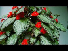 👉7DICAS e cuidados pra fortalecer de maneira certa minhas plantas no vaso- jardim!!! - YouTube Plant Decor, Flowers, Bloom, Nerve Plant, Houseplants, Flower Arrangements, Plants, Faux Plants Decor, Vegetable Garden