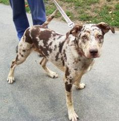 Spotty is an adoptable Catahoula Leopard Dog Dog in Buffalo, NY. Spotty is a gorgeous, and unique looking mixed breed guy who came to us a stray. He's only around 10 months old, so he might still hav.e a little growing left to do.  Spotty is a typical young guy; he likes to play with other dogs, wrestle, run, cuddle and meet new people.  You're sure to be the center of attention with this guy by your side.