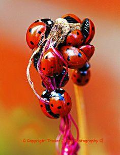 ˚Hibernating Ladybirds