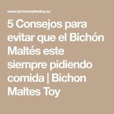 5 Consejos para evitar que el Bichón Maltés este siempre pidiendo comida | Bichon Maltes Toy