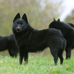 "Schipperke, also known as the ""little black fox"""