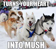 Ridiculously photogenic sled dog
