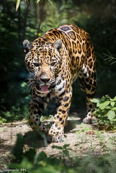 (Jaguar by Mladen Janjetovic / Jaguar Animal, Jaguar Leopard, Big Cats, Cats And Kittens, Cute Cats, Beautiful Cats, Animals Beautiful, Animals And Pets, Cute Animals