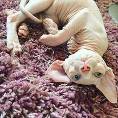 Ideas For Cats Sphynx Bambino Manecoon Cat, Baby Animals, Cute Animals, Baby Giraffes, Cute Cats, Funny Cats, Bambino Cat, Caracal Cat, Sphinx Cat