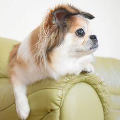Good morning 🐶😊今日もいいお天気です🐶雨降り地方の方も良い1日を🐶🤗💕 #ハイキー #定位置 #よこがお #いけてる  #dogstagram #doglover #instadog  #pekingese #pekingesemix #pekingeseworld #chihuahua #all_dog_japan #west_dog_japan #nikon #ペキチー #わんこ #ペキニーズ #チワワ #犬バカ部 #愛犬 #ミックス犬 #癒しわんこ #ペキ #ペキチワ #カメラ上手になりたい #カメラ好き #ニコン