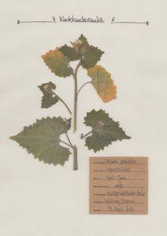 Die Knoblauchsrauke. Ein ausführliches Pflanzenportrait im digitalen Herbarium.