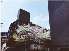 Cherry Blossom ~~ By our parking lot for Soonsiki Hair X]  #Cherry #blossom #soonsiki #soonsikihair #hair #salon #hongdae