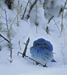 BLUE BIRD OF HAPPINESS,  MY ARSE!  Do I look happy??  It's Friggin' Freezing.  There's snow up my arse, all the food's covered with   3 feet of this white sh..t, and you want ME to sing?  What??  !@#$ Off!  Next year, I'm flyin' to Jamaica for the summer!!!
