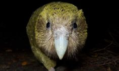 Track a kākāpō? New Zealand's precious parrot under drone eye   World news   The Guardian Flightless Parrot, Eye World, Weird Birds, Common Birds, Wildlife Conservation, Best Location, Bird Watching, The Guardian, Predator