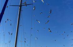 https://flic.kr/p/22Pj2vM | Sans cesse en mouvement. | Les mouettes nous offrent un ballet aérien sans cesse renouvelé dans un ciel bleu entre les mats des voiliers.