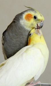 Cockatiel Care Sheet - ClubFauna