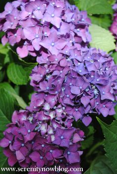 how to get your hydrangea plant to bloom