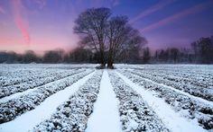 Lavender field and winter sunset (1920x1200, field, winter, sunset)  via www.allwallpaper.in