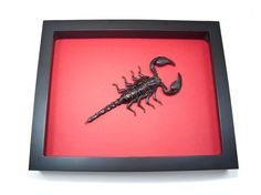 Hey, I found this really awesome Etsy listing at https://www.etsy.com/listing/167052960/real-scorpions-for-sale-framed-scorpion