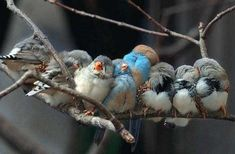 A little huddle of little fluffy birds! Adorable! Little Zebra Finches and Condon Blue finches!