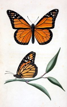 Vintage butterfly illustration; monarch butterfly  --  LOADS of FREE Printables on this site!