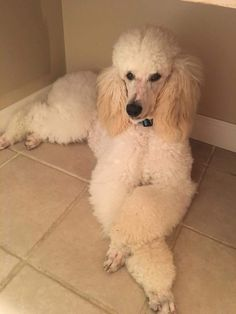 FINLEY 10 MONTHS. 1ST HAIRCUT I Love Dogs, Puppy Love, Cute Dogs, French Poodles, Standard Poodles, Baby Dogs, Dogs And Puppies, Poodle Haircut, Poodle Hairstyles