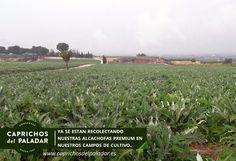 Nuestros campos de alcachofas estos días ,listos para ser recolectados