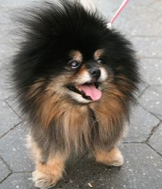 Roar from Bubbles the Pomeranian (a Friendly Mini-Lion)