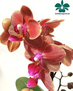 Phalaenopsis Hybride lachsfarben #orchids #Orchidee #Orchideen #OrchIDEENgarten #orquídea #orquídeas #orchidées #orchidée #orchidej #orchideje #orkid #orkidéer #Phalaenopsis #orchidfan #nature...