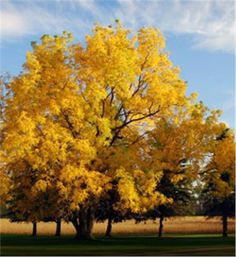 Black Walnut - Juglans nigra   can eat the nuts, use the fruit for dye, and after 50 years, sell the wood to wood workers