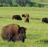 Buffalo west of Golden