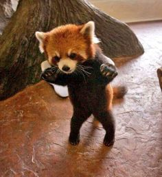 Red panda baby! He looks like he's trying to sneak up on someone.