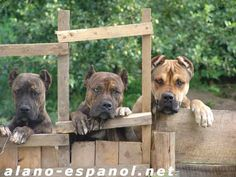 Alano Espanol vs Dogo Argentino   ... about another Argentino and have focused on the intriguing Alano Mastiff Dogs, Guard Dog, Dog Furniture, Puppy Mills, Cane Corso, Dog Names, Beautiful Dogs, Rottweiler, Dog Pictures