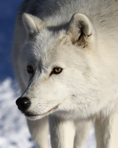 Another gorgeous shot of how I imagine Calla in wolf form. White wolf with amber eyes. Beautiful Wolves, Most Beautiful Animals, Beautiful Creatures, Magical Creatures, Husky, Wolf Pictures, Animal Pictures, Akita, Malamute