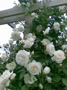 Iceberg Climbing Rose: 'Iceberg' is a Floribunda Rose, considered by many to be the finest white of all in its shrub form. Floribundas often do not make good climbers, but 'Iceberg' has been an exception since its introduction in 1968, Reaching 12 to 15 feet tall and 7 to 9 feet wide, 'Iceberg' is ideal for arbors, walls, fences, outbuildings, and other sturdy structures. Blooms on old wood only, it will produce more flowers with age, increasing your pleasure each year